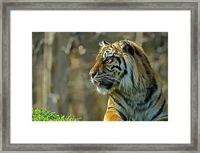 Framed Print featuring the photograph Sumatran Tiger by JT Lewis
