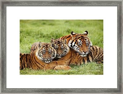 Sumatran Tiger Panthera Tigris Sumatrae Framed Print