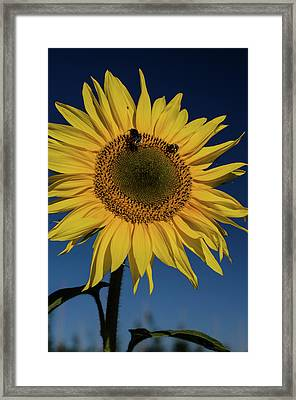 Sunflower Fields Framed Print by Miguel Winterpacht