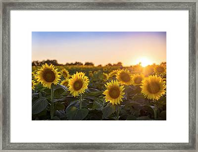 Sunflower Sunset Framed Print