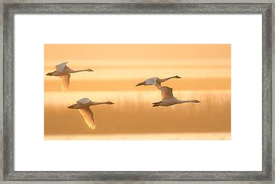 Framed Print featuring the photograph 4 Swans by Kelly Marquardt