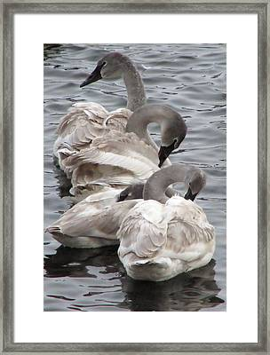 4 Swans Framed Print by Laurie With