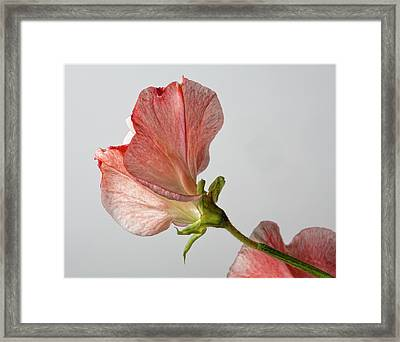 Sweet Pea Framed Print by Robert Ullmann