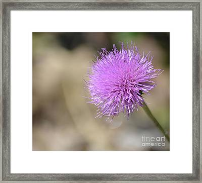 Texas Thistle  Framed Print by Ruth Housley