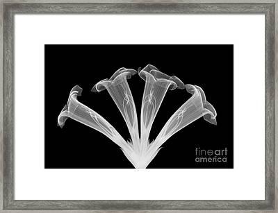 Trumpet Vine, X-ray Framed Print