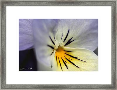 Viola Named Sorbet Blueberry Cream Framed Print by J McCombie