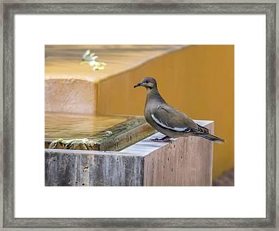 White-winged Dove Framed Print by Tam Ryan