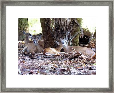 4 Wild Deer Framed Print by Rosalie Scanlon
