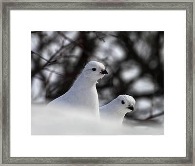 Willow Ptarmigan Framed Print