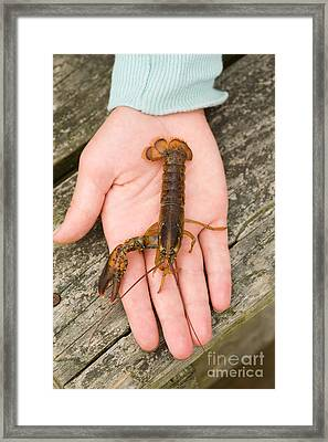Young Lobster Framed Print by Ted Kinsman