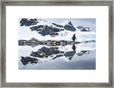 Antarctica, Cuverville Island, Gentoo Framed Print by Paul Souders
