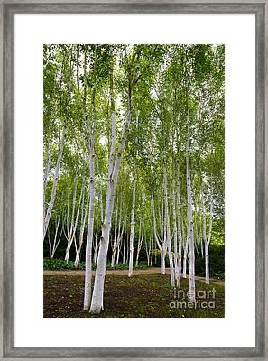 Birch Trees Framed Print by Svetlana Sewell