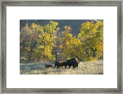 Bison Framed Print