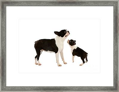 Boston Terrier Dog Framed Print by Gerard Lacz