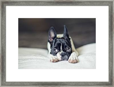 Boston Terrier Puppy Framed Print