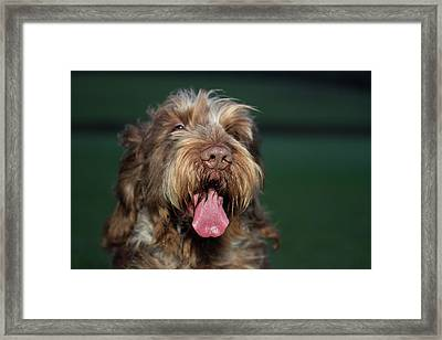 Brown Roan Italian Spinone Dog Head Shot Framed Print
