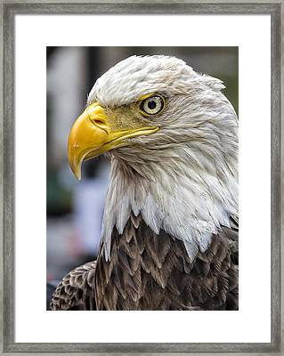 Challenger The Bald Eagle Framed Print