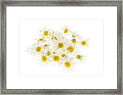 Chamomile Flowers Framed Print by Elena Elisseeva