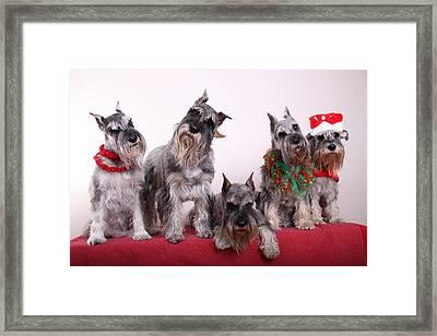 5 Christmas Schnauzers Framed Print by Bill Schmitt