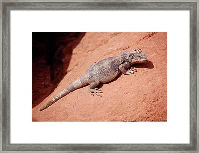 Chuckwalla, Sauromalus Ater Framed Print