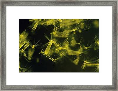 Close View Of Diatoms Framed Print
