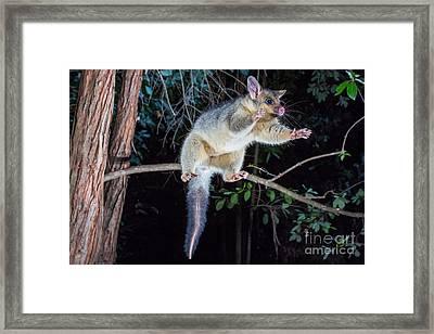Common Brush-tailed Possum Framed Print