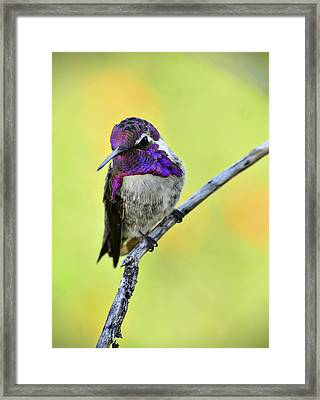 Costas Hummingbird  Framed Print