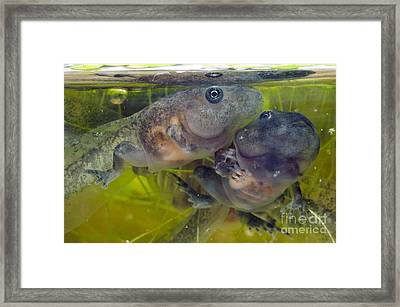 Developing Frogs Framed Print by Angel Fitor