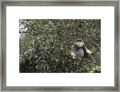 Douc Langur In Treetop Framed Print by Cyril Ruoso