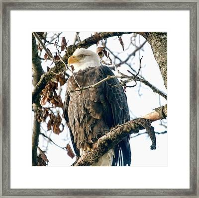 Eagle In A Tree Framed Print by Clarence Alford