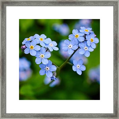 Forget Me Not Framed Print by Jouko Lehto