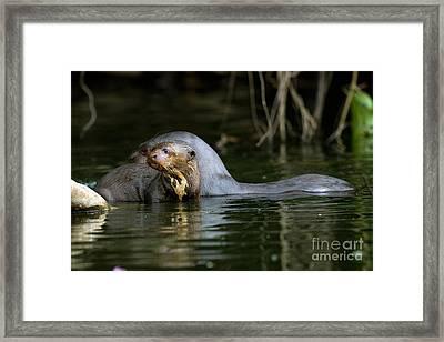 Giant Otter Pteronura Brasiliensis Framed Print