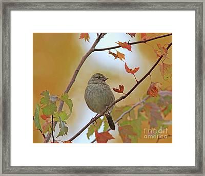 Golden-crowned Sparrow Framed Print
