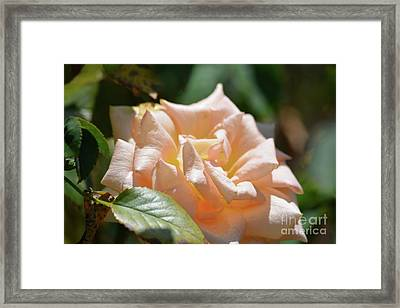 Gorgeous Rose Framed Print by Ruth Housley