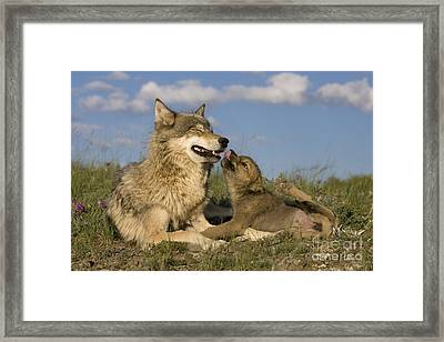 Gray Wolf And Cub Framed Print