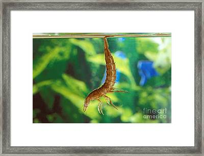 Great Diving Beetle Framed Print by Gerard Lacz