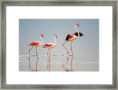 Greater Flamingos Phoenicopterus Roseus Framed Print