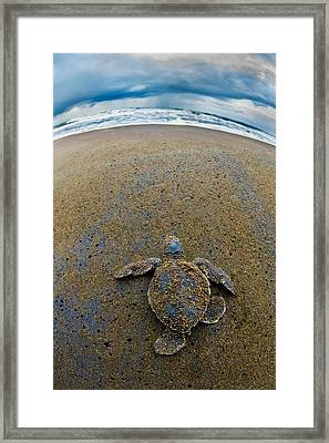 Green Sea Turtle Chelonia Mydas Framed Print by Panoramic Images