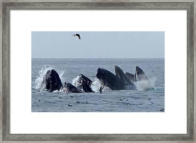5 Humpbacks Lunge Feeding  Framed Print