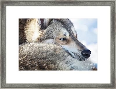 Huskies Framed Print by Kati Molin