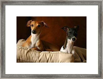 Italian Greyhounds Framed Print