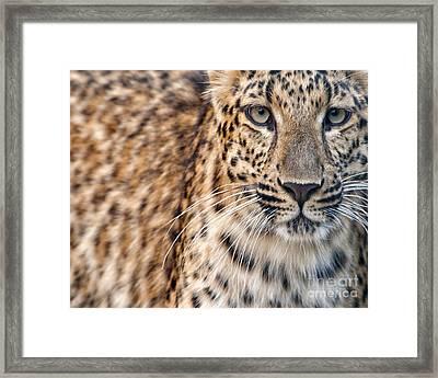 Leopard Framed Print by White Stork Gallery