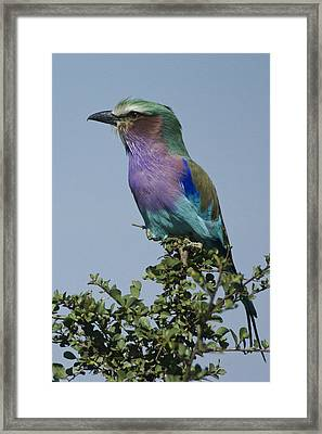 Lilac-breasted Roller Framed Print by Michele Burgess