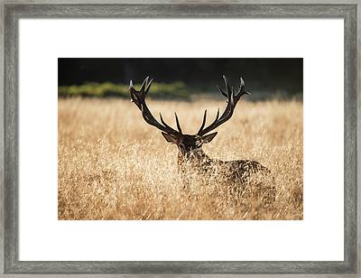 Majestic Red Deer Stag Cervus Elaphus Bellowing In Open Grasss F Framed Print by Matthew Gibson