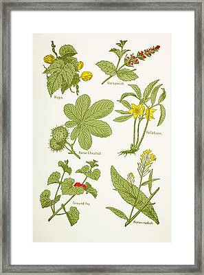 Medicinal Herbs And Plants. Clockwise Framed Print by Vintage Design Pics