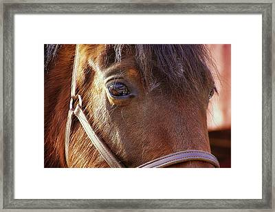 Morgan Horse Framed Print by JAMART Photography