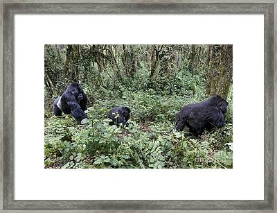 Mountain Gorilla Family Group Framed Print