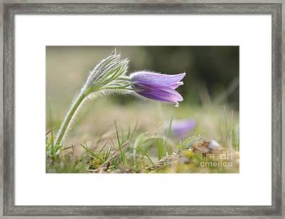 Pasque Flower Framed Print