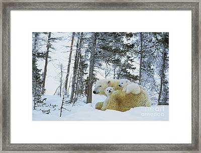Polar Bear And Cubs Framed Print