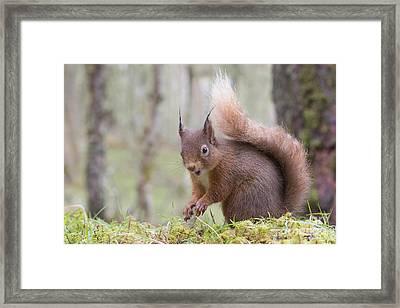 Red Squirrel - Scottish Highlands #8 Framed Print